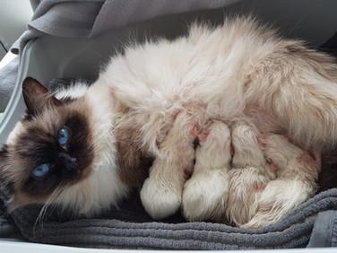 Lexi & Her Kittens - Sealpoint Ragdoll
