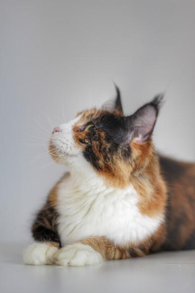 Luxe - Our Torti & White Maine Coon