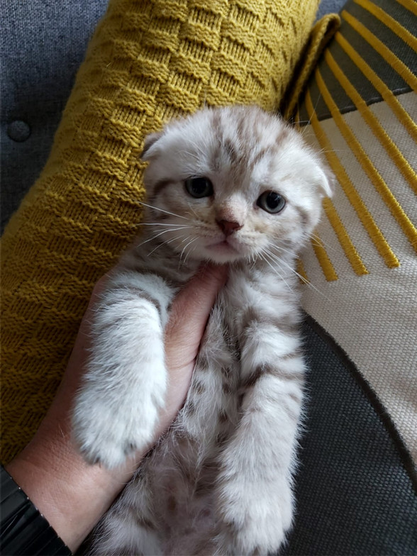 Mink Tabby Scottish Fold