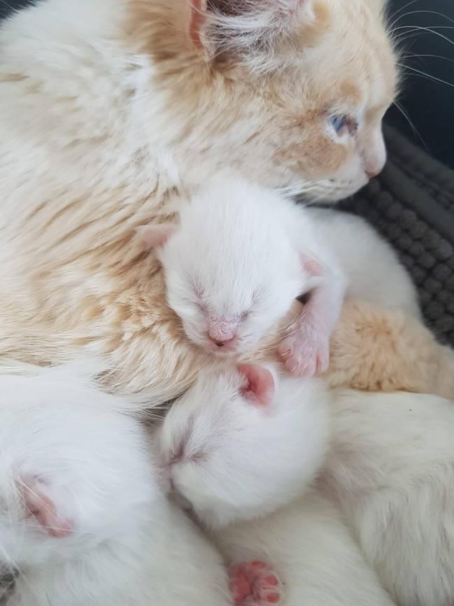 Lilly & Her Kittens - Flamepoint Ragdoll