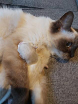 Lexi & Her Kitten - Sealpoint Ragdoll
