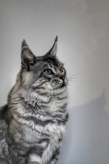 Loki - Our Silver Tabby Maine Coon