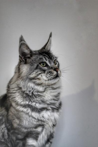 Loki - Our Silver Tabby Maine Coon