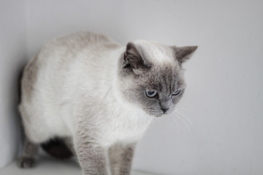 Lia - Our Bluepoint British Shorthair