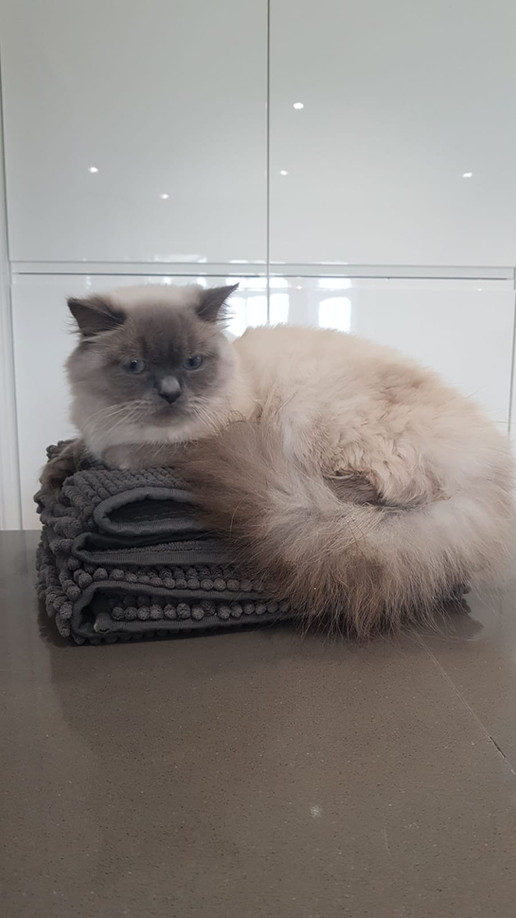 Lady - Our Bluepoint British Longhair