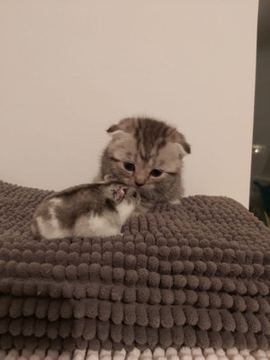 Silver Tabby Scottish Fold