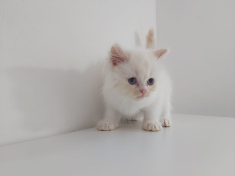 Flamepoint Persian
