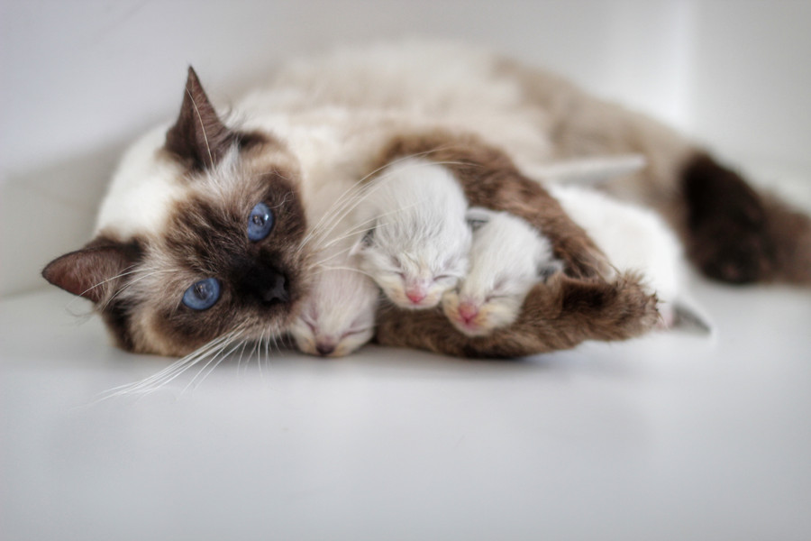 Lexi - Our Sealpoint Ragdoll & her Kittens