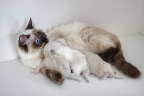 Lexi - Our Sealpoint Ragdoll & Her Kittens