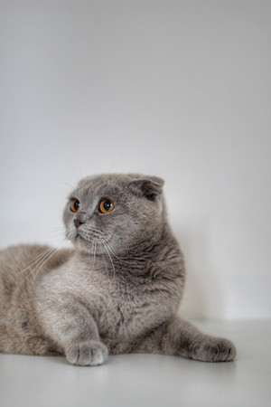 Lotus - Our Scottish Fold