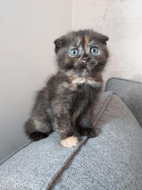 Torti Scottish Fold