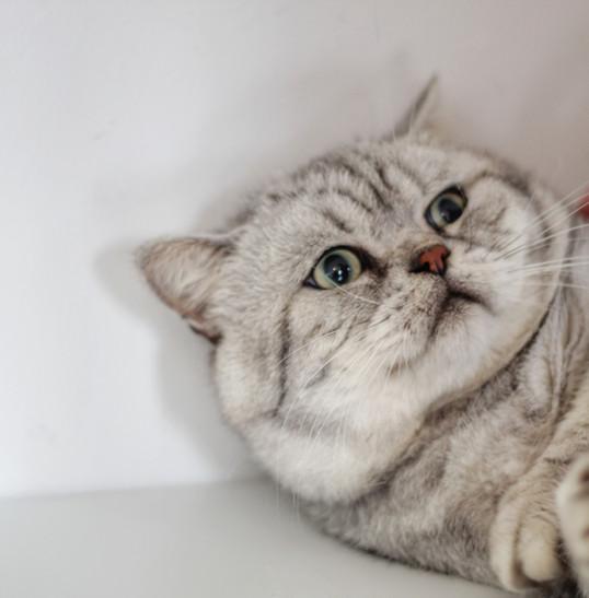 Louis - Our Silver Tabby British Shorthair