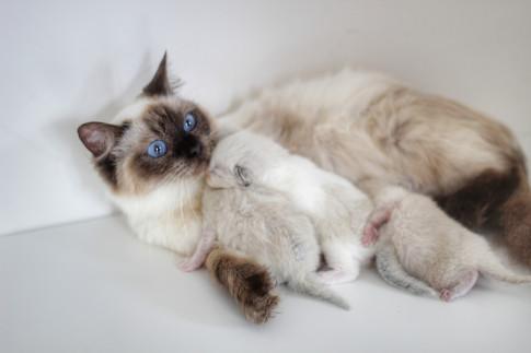 Lexi - Our Sealpoint Ragdoll & Her KittensLexi - Our Sealpoint Ragdoll & Her Kittens