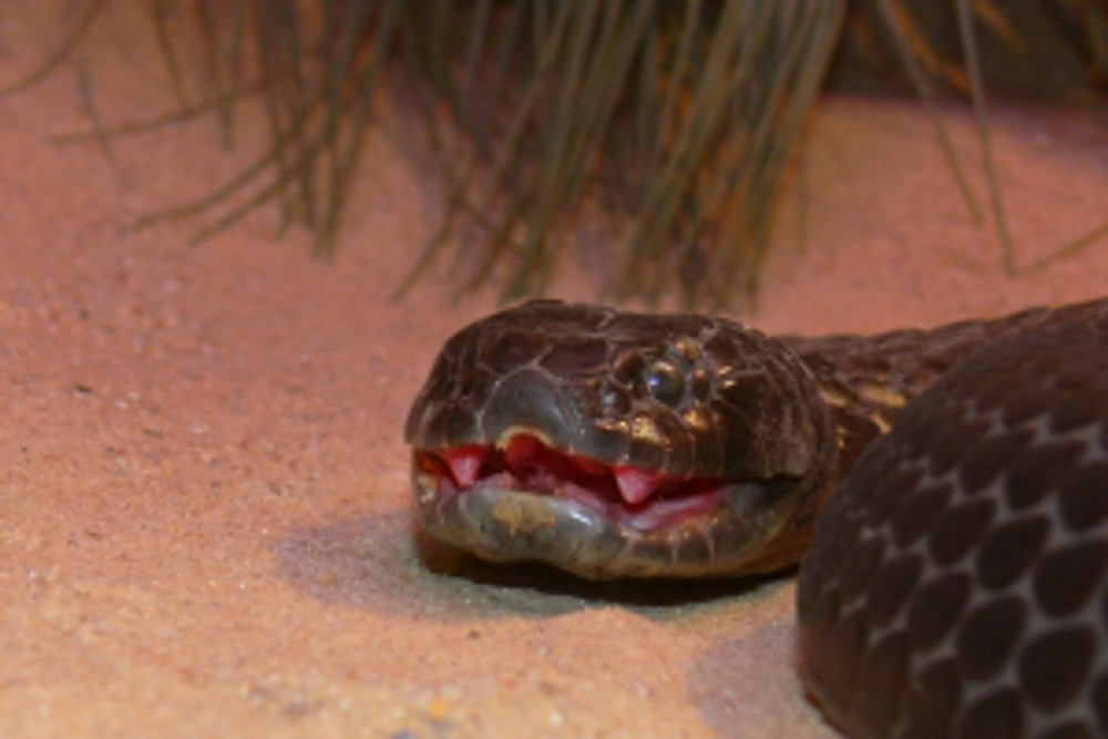 Chappell_Island_tiger_snake