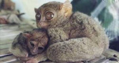 Babytarsier
