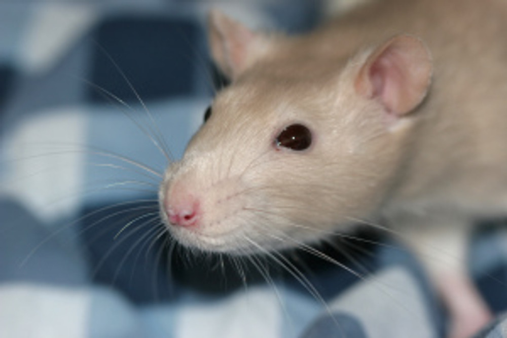 Rat_whiskers_2