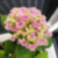 Hortensie - Herbarium, Pflanzenverzeichnis H