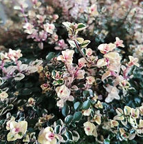 garten-herbarium-thymian.jpg
