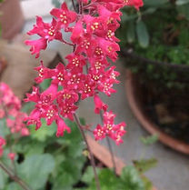 garten-herbarium-purpurgloeckchen.jpg