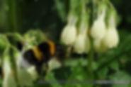 Insekenhotel - Pflanzen, Lungenkraut weiss