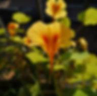 garten-herbarium-kapuzinerkresse.jpg