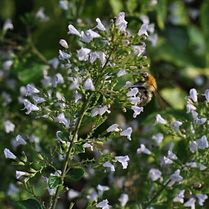 garten-herbarium-bergminze.jpg