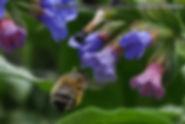 Insektenhotel - Pflanzen - Lungenkraut