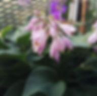 Hosta - Herbarium, Pflanzenverzeichnis H