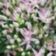 garten-herbarium-sedum.jpg
