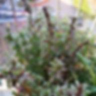 Bohnenkraut - Hebarium, Pflanzenverzeichnis B