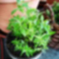 garten-herbarium-zitronen-verbene.jpg