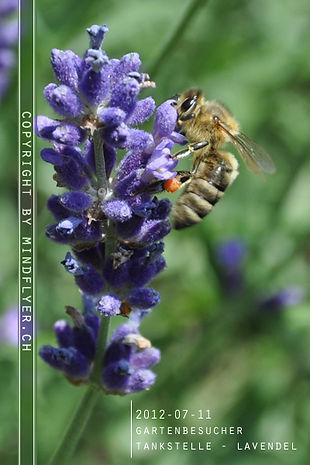 Insektenhotel - Pflanzen, Lavende
