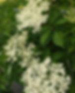 Holunder - Hebarium, Pflanzenverzechnis H