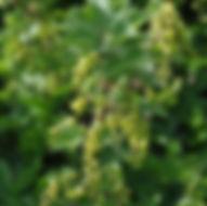 Johannisbeeren - Herbarium, Pflanzenverzeichnis J