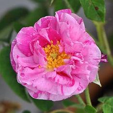 rosen-garten-rosa-gallica-versicolor.jpg