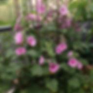 garten-herbarium-stockrose-bauernrose.jp