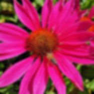 garten-saison-frueh-herbst-echinacea.jpg