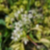 Schnittkoblauch - Herbarium, Pflanzenverzeichnis S