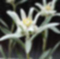 garten-herbarium-edelweiss.jpg