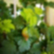 garten-herbarium-stachelbeere.jpg