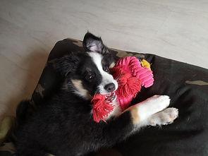 islandhund-welpe-imi-10w