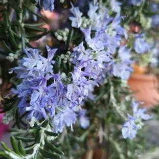 garten-herbarium-rosmarin.jpg