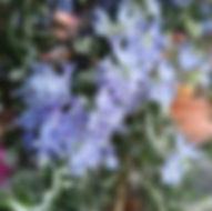 Rosmarin - Herbarium, Pflanzenverzeichnis S