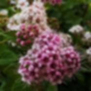 garten-herbarium-spirea.jpg