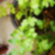 garten-herbarium-liebstoeckel.jpg