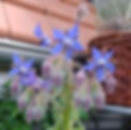 garten-herbarium-borretsch.jpg