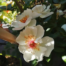 rosen-garten-jaqueline-du-pre_guetzli.jp