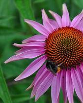 herbarium_echinacea_purpurea.jpg