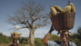 EcoProducts B'Ayoba baobab harvest 1.jpg