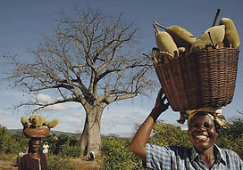 EcoProducts B'Ayoba baobab harvest 1.jpg